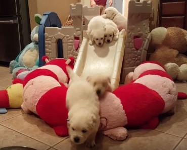 puppies going down slide