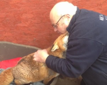 rescued fox cuddles owner