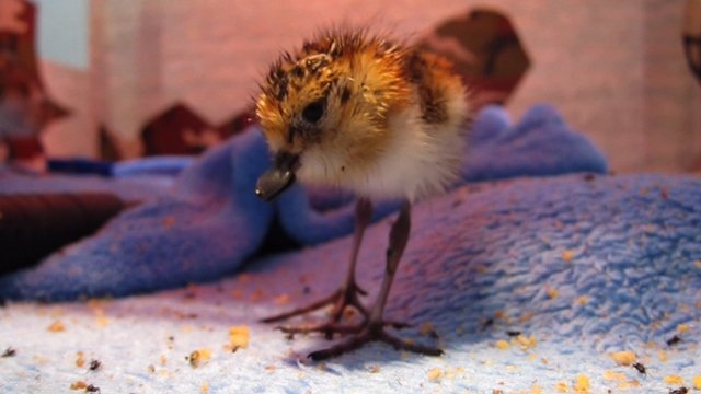 Spoon-Billed Sandpiper Chick